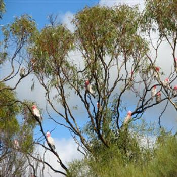 Galahs in the gum trees, Outback W.A. Wendy/Perth