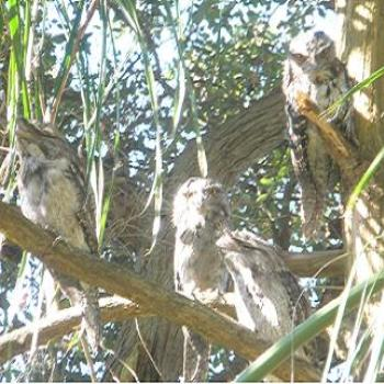 Family of Tawny Frogmouths - Sydney