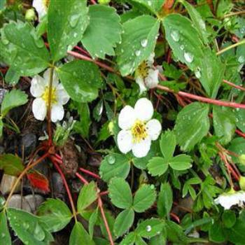Wild strawberry, Rocky Mts, Canada - Wendy/Perth
