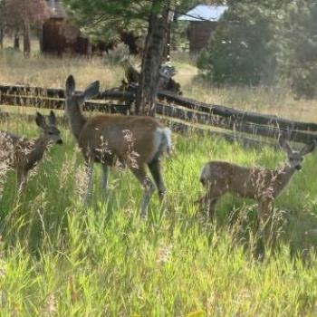 Twin fawns with mother in Uintah Mountains by Wilodene of Utah