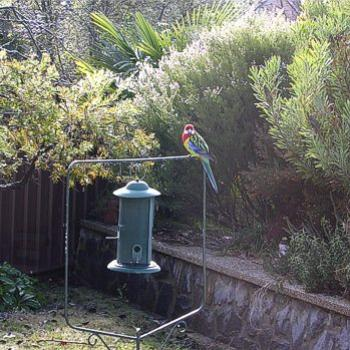 Eastern Rosella, Platycercus eximius, in my aunt's back garden, Canberra 2010 - Bev,AB