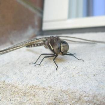 Dragonfly on our window sill 12-Sep-10 by Anne,Sydney, AUS