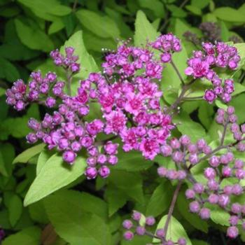 Spirea flowers and buds