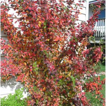 Cotoneaster in autumn - Bev, AB