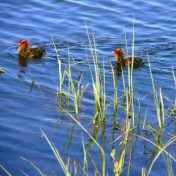 Colorful Coot babies hiding near shore in Green Lake by Wilodene of Utah May 2010