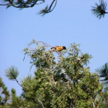 Baltimore Oriole in treetop at Red Canyon Lodge by Wilodene of Utah May 2010