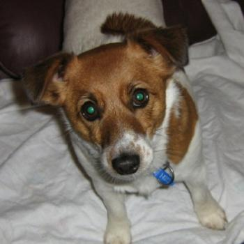 'Holly' a Jack Russell (Deb from Brisbane)