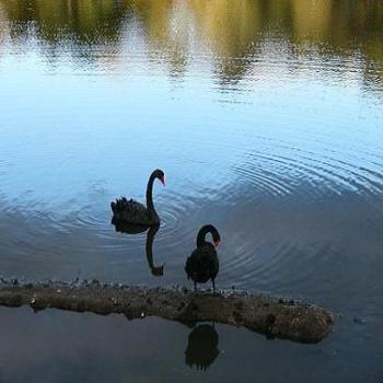 Reflections of a black swan (Anne, Albany)