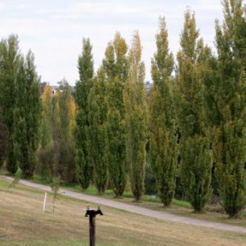 1544 Poplars on the Merriwa River, Hunter Valley, NSW, 29th April'09, Kate/Sydney