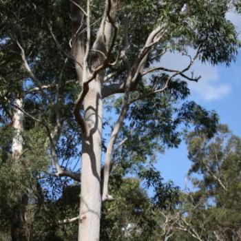 9573 tall gum tree, Lane Cove National Park, West Chatswood, NSW, 1st Sept'09, Kate/Sydney