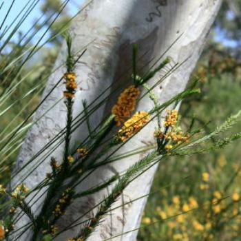 0604 Dillwynia, scribbly gum, grasses, native flowers, Muogamarra Nature Reserve, Hawkesbury R, NSW, 12th Sepr'09, Kate/Sydney