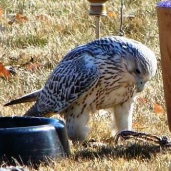 Sharp-Shinned Hawk at Falconry Convention in Utah by Wilodene