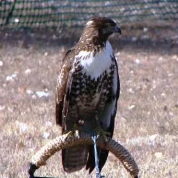 Merlin Hawk at Falconry Convention in Utah by Wilodene