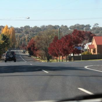 1939 Claret Ash trees, Molong. Driving home from Dubbo, 8th May, 2009, Kate/Sydney