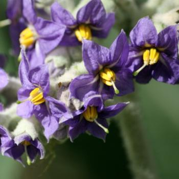 9450 weed flowers, Solanum mauritianum, Scop, Wild Tobacco Bush, Solanaceae, not native, Lane Cove National Park, West Chatswood, NSW, 1st Sept'09, Kate/Sydney