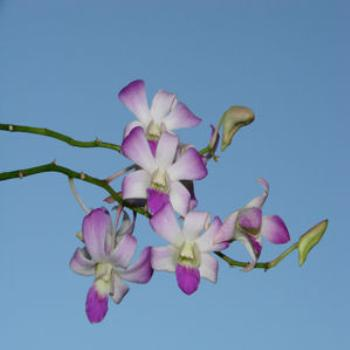 orchid against clear blue sky