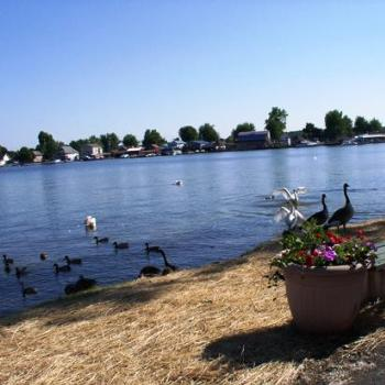 Swans and Geese in Sodus Bay, New York, of Lake Ontario
