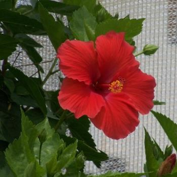 hibiscus, Butterfly Dome Grand Isle, LA rebuilt after Hurricanes Katrina and Rita