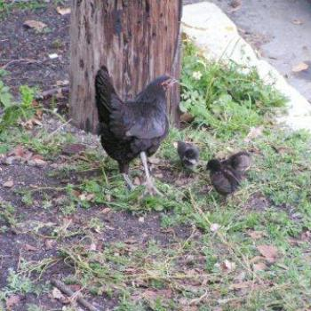 Chickens of Key West