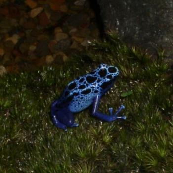 Rainforest Blue Frog in New York City Display