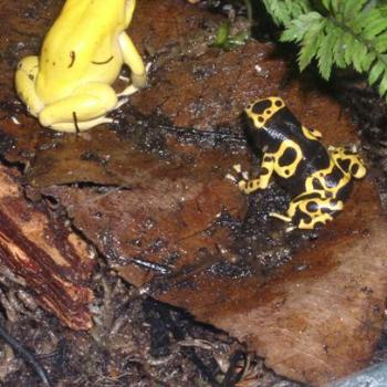 Rainforest Yellow Frogs in New York City Display
