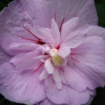 Hibiscus syriacus Rose of Sharon double