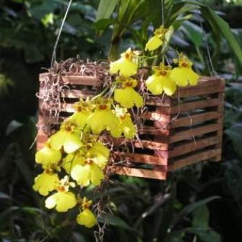 Basket of Orchids (not mine), Moody Gardens, Galveston Texas Sue/OK