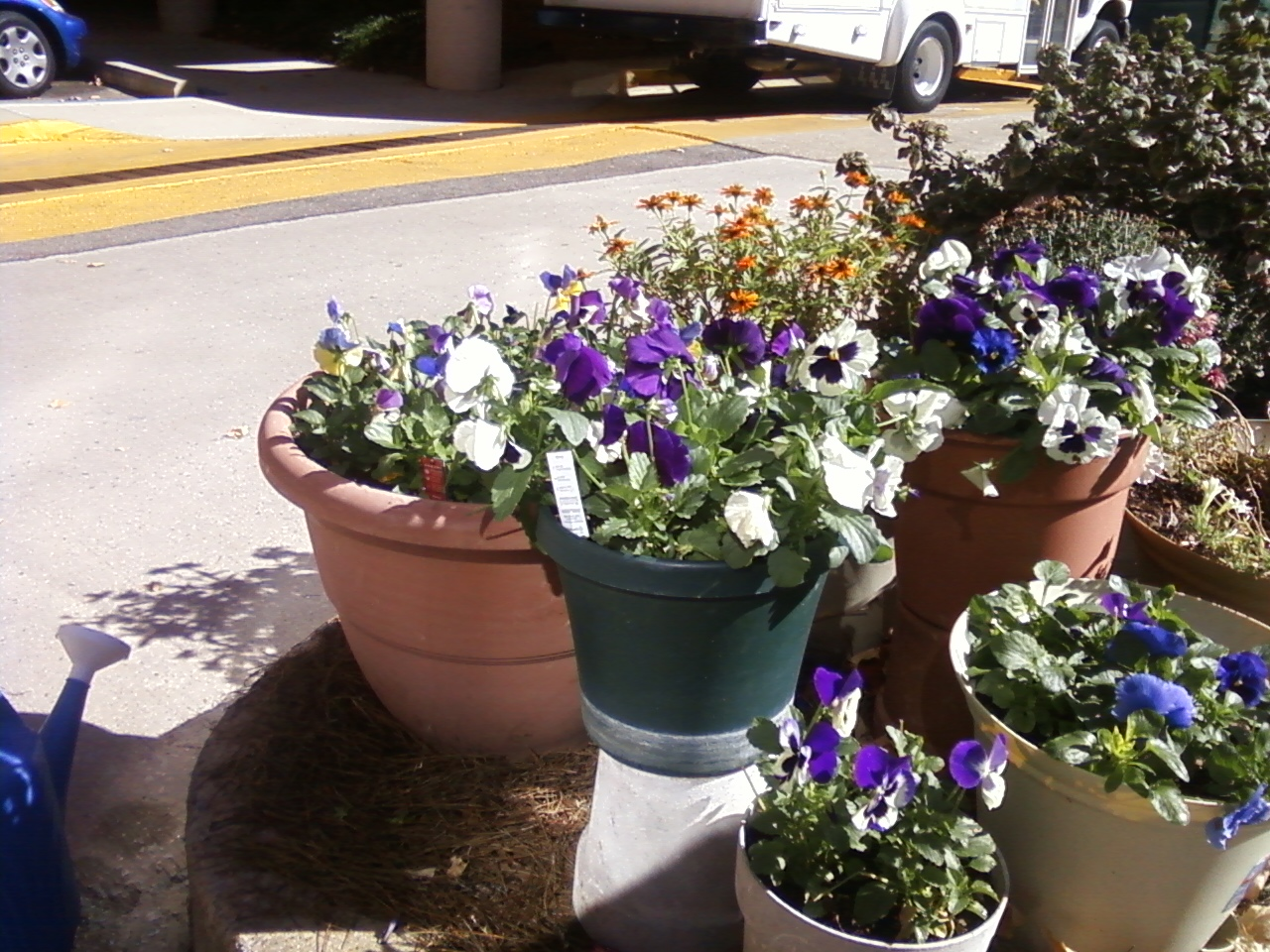 Same location as the petunias had been, but after they died out. Lots of containers added to that location. Behind the pansies are some orange zinnias, and a pot of Chrysanthemums.